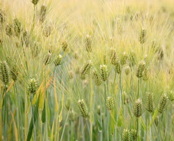A picture of Barley from Wikipedia