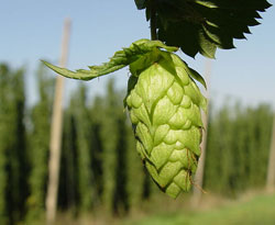 Picture of a HOP bud